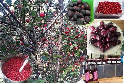 Click image for larger version  Name:cherries2.jpg Views:17 Size:376.7 KB ID:43824