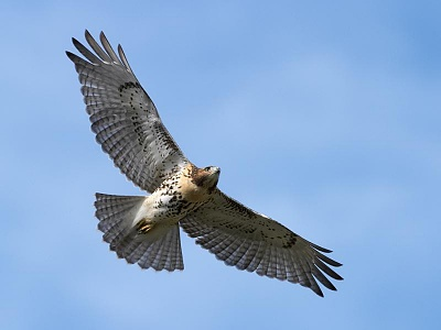 Click image for larger version  Name:hawk2.jpg Views:238 Size:29.2 KB ID:30963