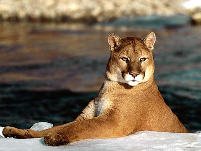 Click image for larger version  Name:cougar1.jpg Views:261 Size:30.0 KB ID:30977