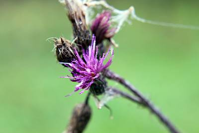 Click image for larger version  Name:Thistle_small_macro.jpg Views:58 Size:102.1 KB ID:22732
