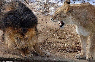 Click image for larger version  Name:18 ~ lioness roaring at lion (5-6-13) (3).jpg Views:9 Size:63.9 KB ID:46559